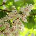 Chesnut blossom by cherrymartina
