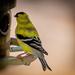 Spring warbler by joansmor