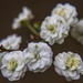 Bridal Wreath Spirea by skipt07