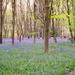 Parkwater Bluebells
