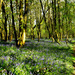 Bluebell woods.... by snowy