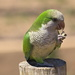 Friendly Monk Parakeet
