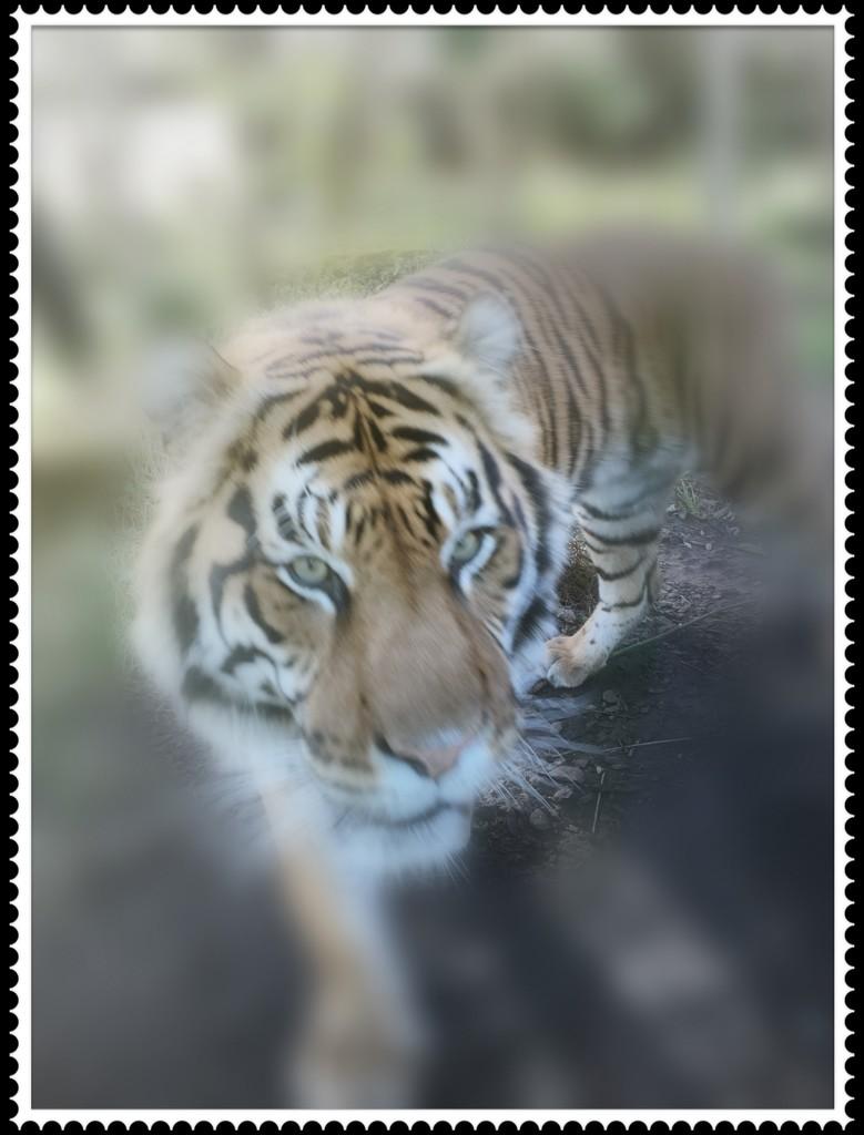 Tiger by bizziebeeme