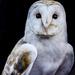 Barn Owl by tonygig