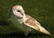 24th Apr 2016 - Barn Owl