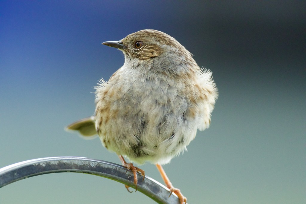 Hedge Sparrow by padlock