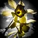 Daffodils by dorsethelen