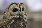 24th Apr 2016 - Owl