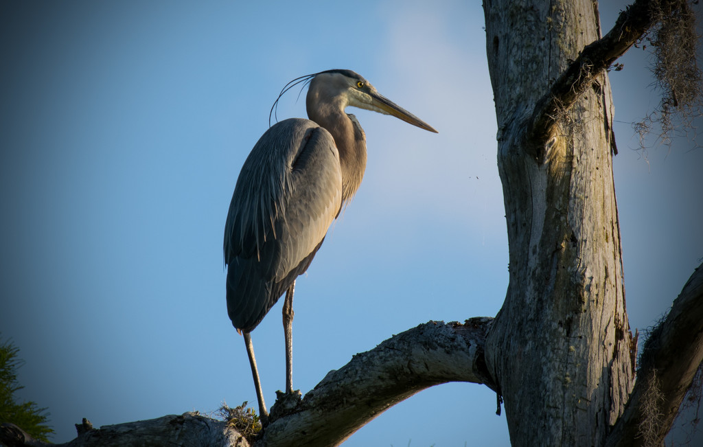 Late Afternoon Blue Heron! by rickster549