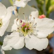 25th Apr 2016 - Bradford Pear Blossom