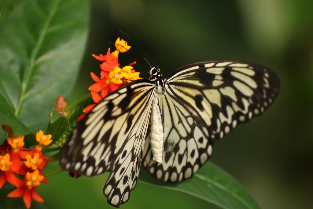 Butterfly by bizziebeeme