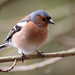 2016 04 25 - Chaffinch by pixiemac