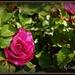 Patio Rose by essiesue