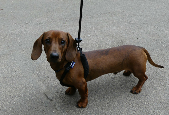 A Miniture Dachshund Dog by snoopybooboo