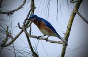 25th Apr 2016 - Bluebird