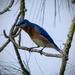 Bluebird by rickster549