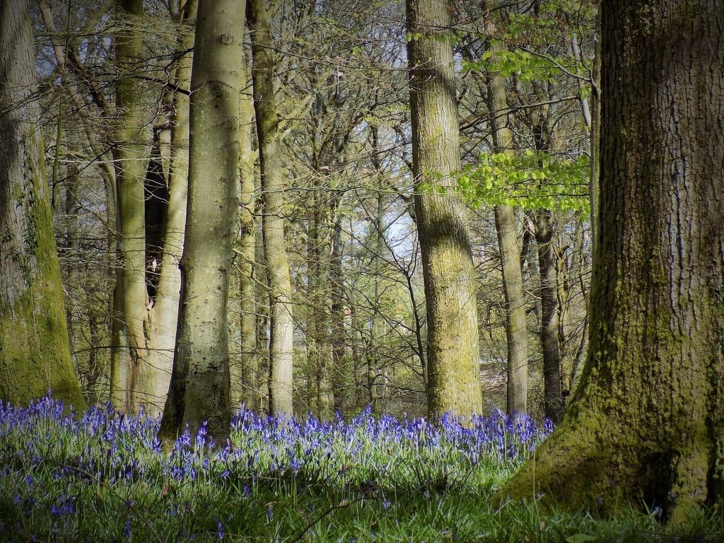 Bluebell carpet by flowerfairyann