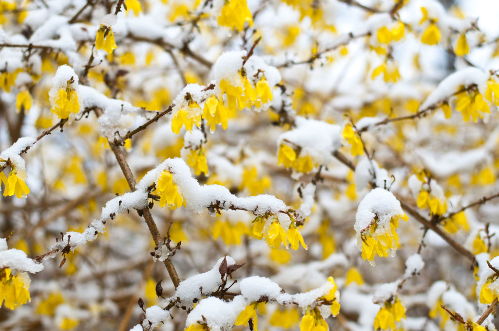 Forsythia in the snow by dianen