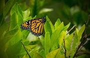 26th Apr 2016 - Monarch Butterfly