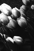 12th Apr 2016 - tulips bw