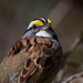 White-Throated Sparrow by berelaxed
