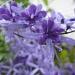Petrea flower by loey5150