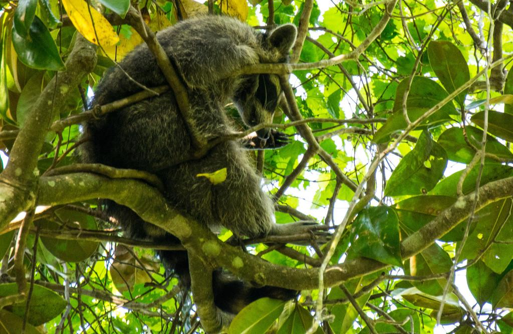 Florida Koala! by rickster549