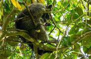 27th Apr 2016 - Florida Koala!