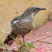 young female wattlebird by maree_sanderson
