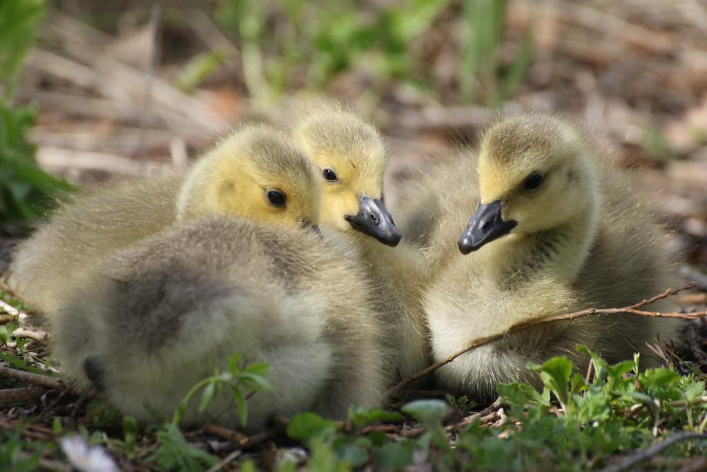 Goslings by bizziebeeme