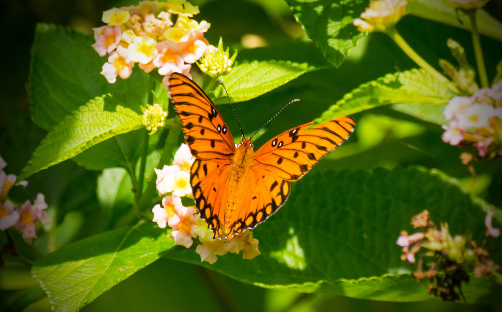 Gulf Fritillary Butterfly by rickster549