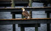 28th Apr 2016 - Bald Eagle having lunch!
