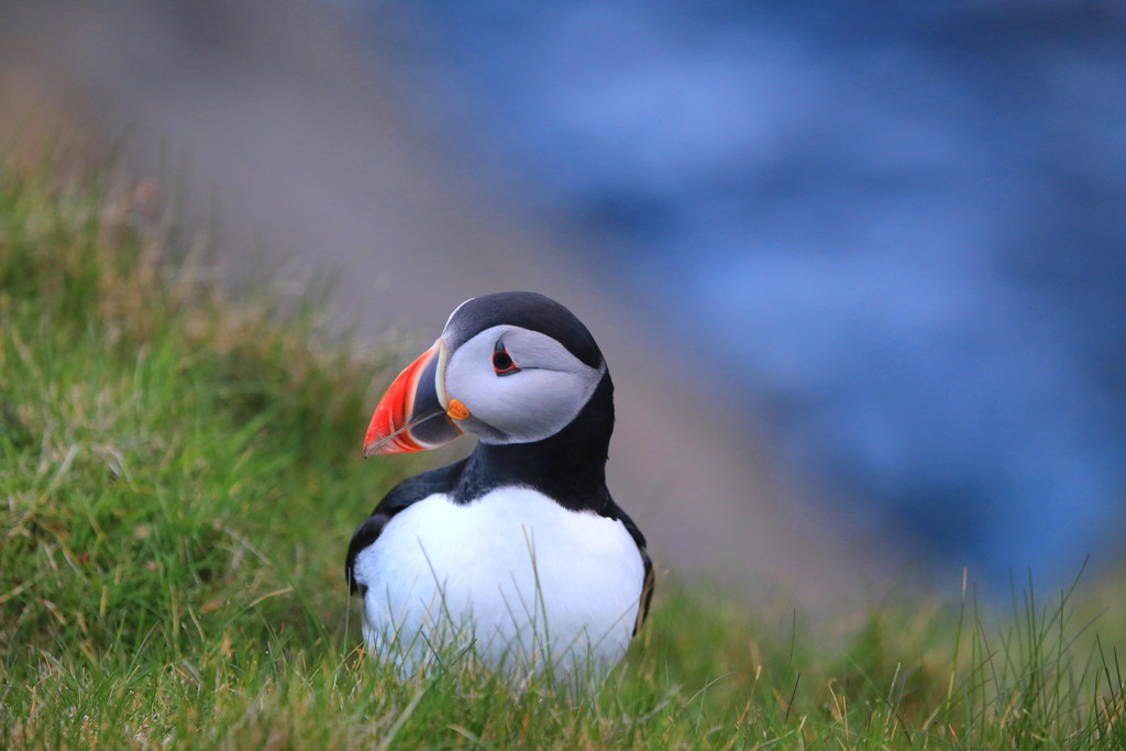 Sumburgh Puffin by lifeat60degrees
