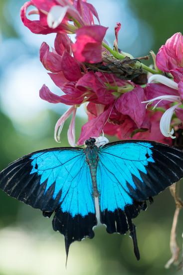 Ulysses Butterfly by bella_ss