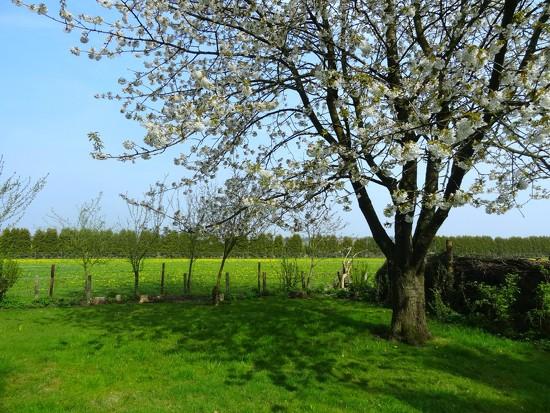 cherry blossom by gijsje