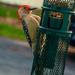 Red Bellied Woodpecker by joansmor