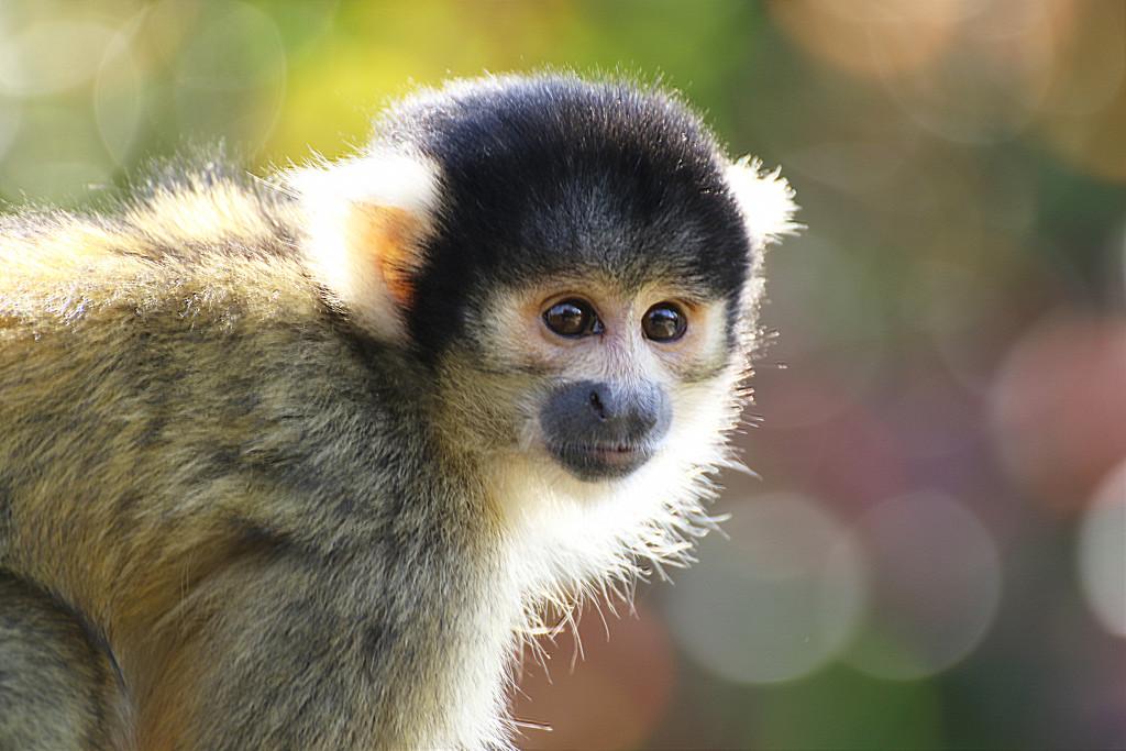 Squirrel Monkey by bizziebeeme