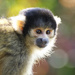 Squirrel Monkey by bizziebeeme