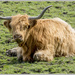 Highland Cow by pcoulson