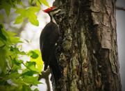 30th Apr 2016 - Pillieated Woodpecker!