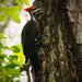Pillieated Woodpecker! by rickster549