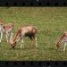 Fallow Deer by rustymonkey