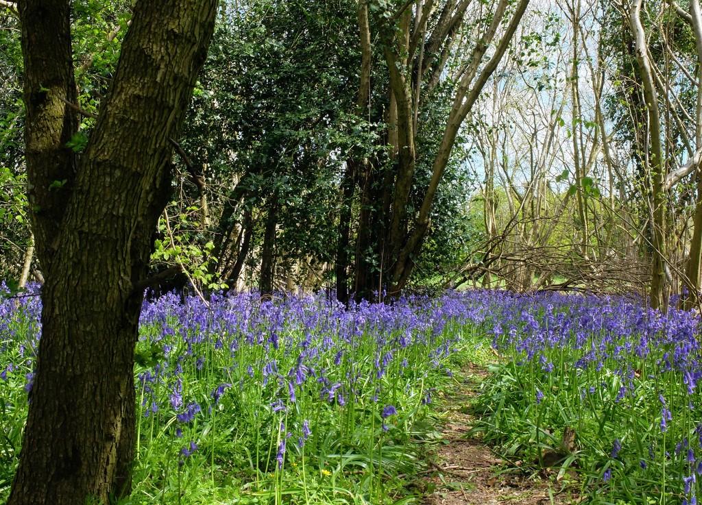 path through the bluebell wood by quietpurplehaze