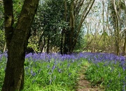 1st May 2016 - path through the bluebell wood