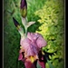 Rain Kissed Iris by essiesue