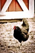 30th Apr 2016 - Barnyard Hen