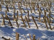 5th Dec 2010 - Maize stubble.