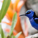 2016 05 01 Blue Honey Creeper by pamknowler