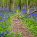 Bluebell Trail by rjb71