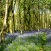 Bluebell woods... by snowy
